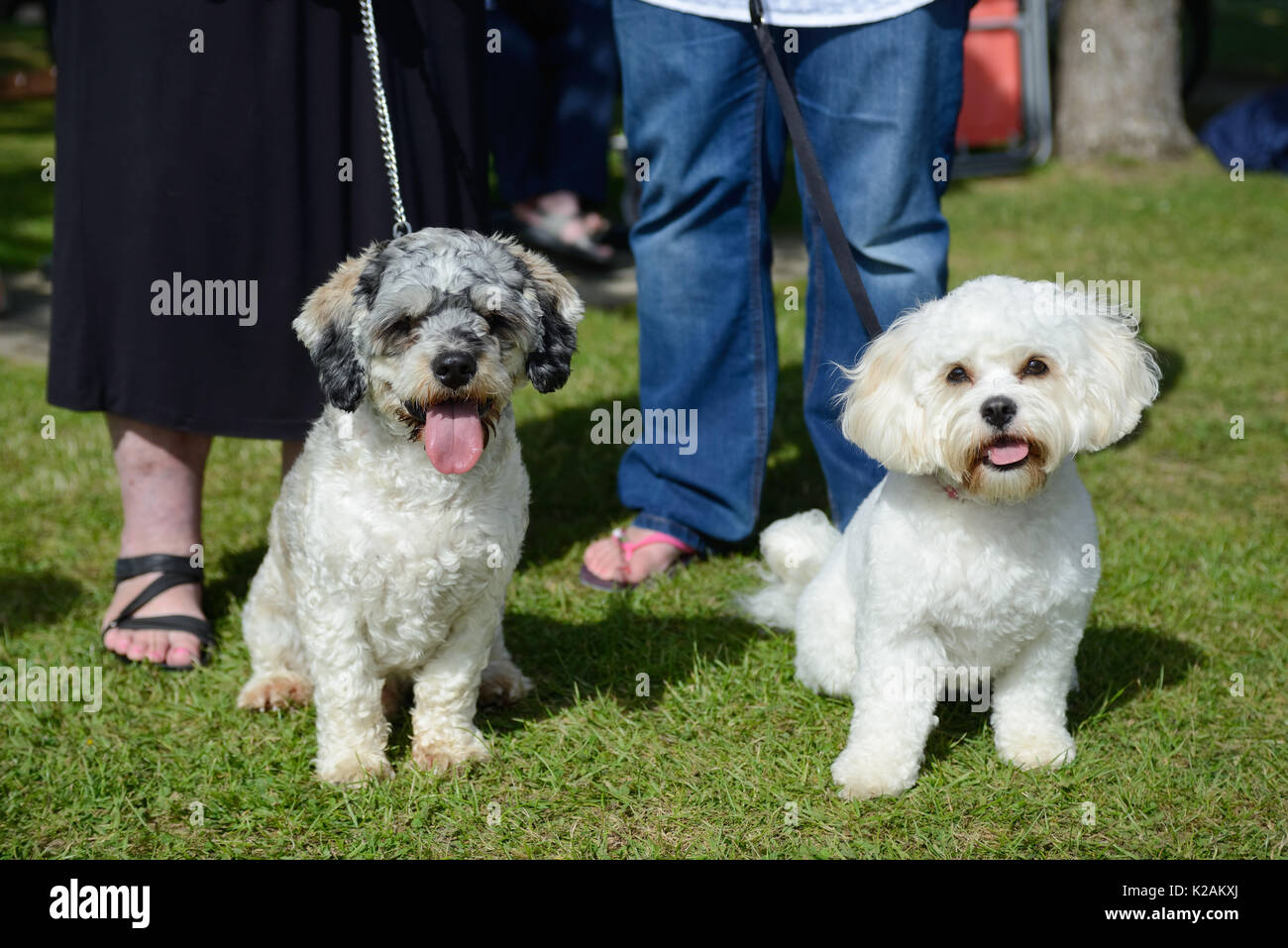 Two cavapoo dogs on leads at a village dog show. - Stock Image