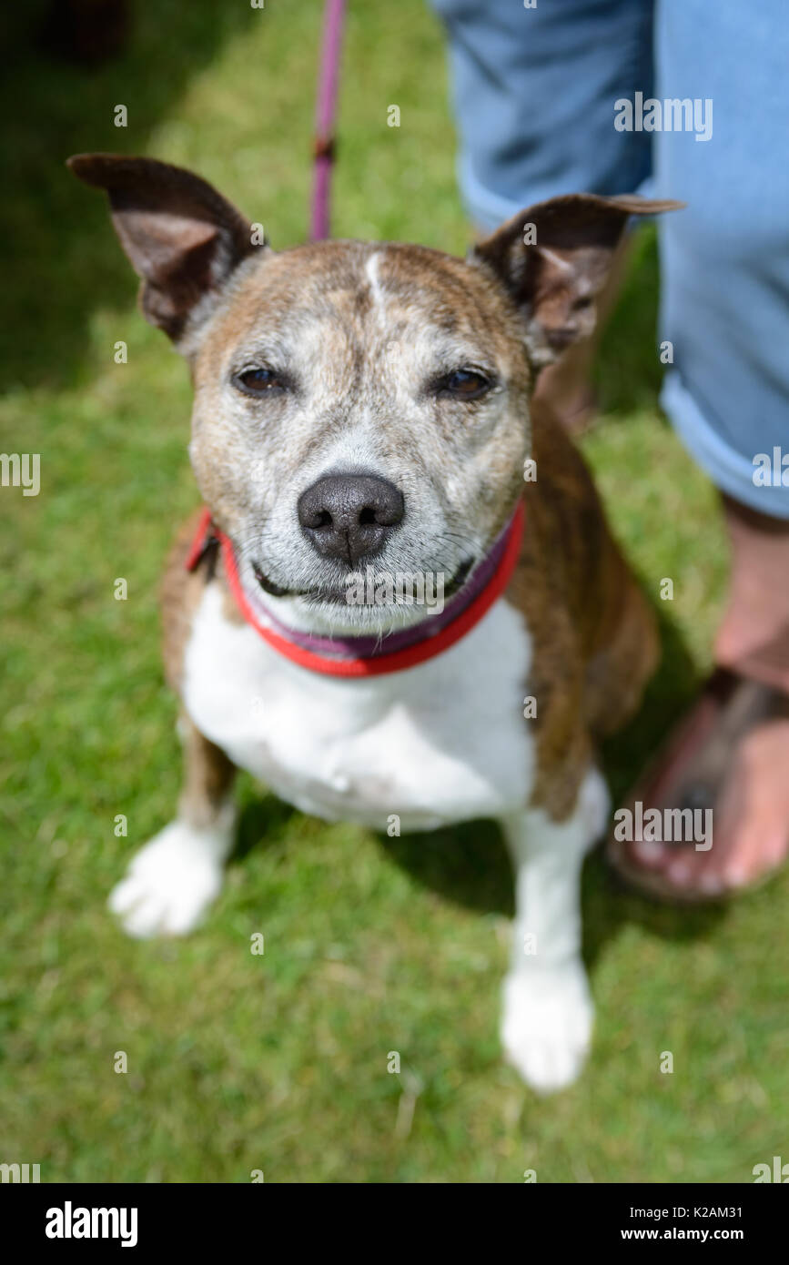 A staffordshire bull terrier dog aged 9 years old at a dog show in England. - Stock Image