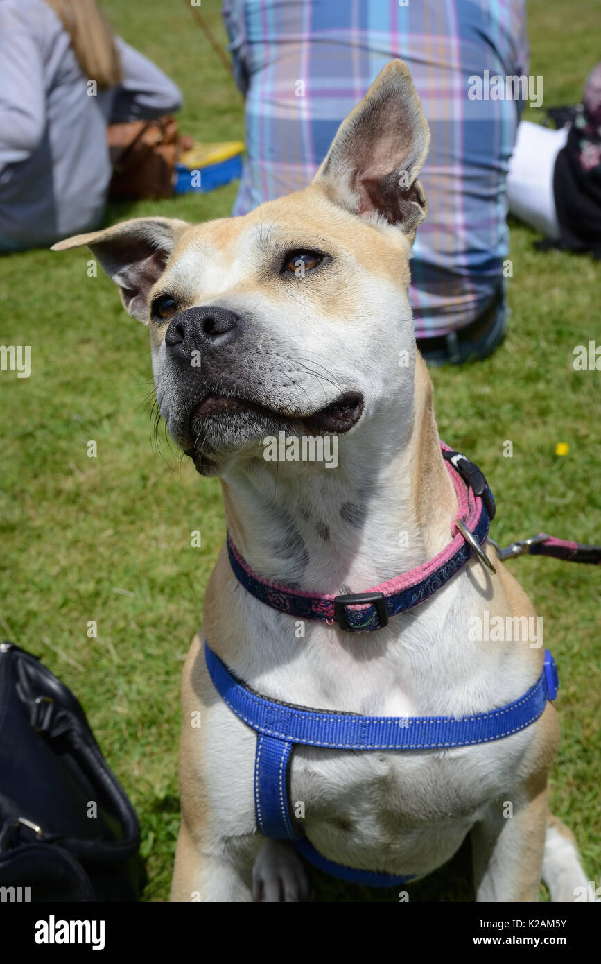A staffy cross dog aged one-year-old at a village dog show in England. - Stock Image