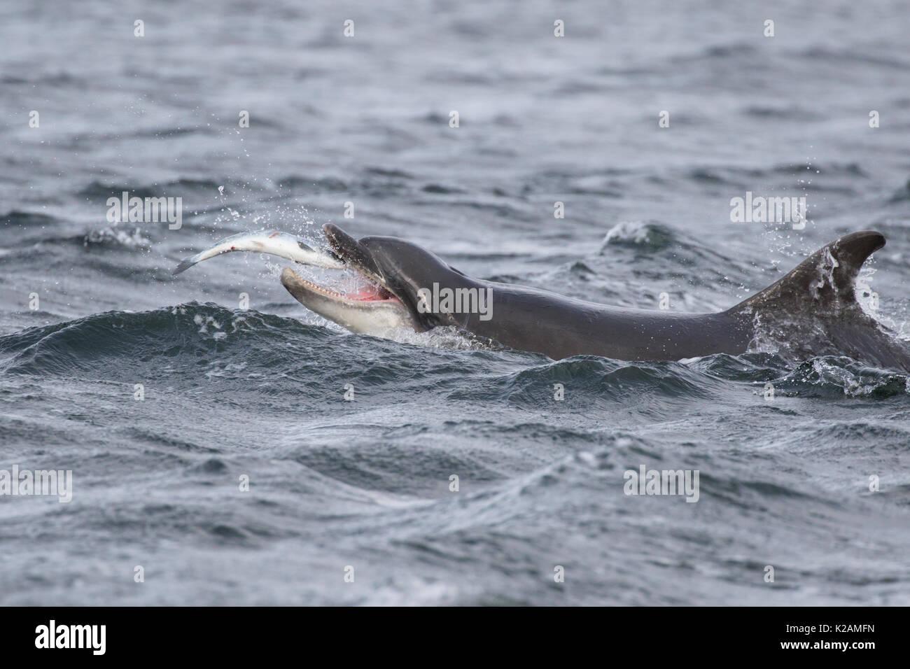 Bottlenose Dolphin (Tursiops truncatus) eating salmon (Salmo salar) in the Moray Firth, Chanonry Point, Scotland, UK - Stock Image
