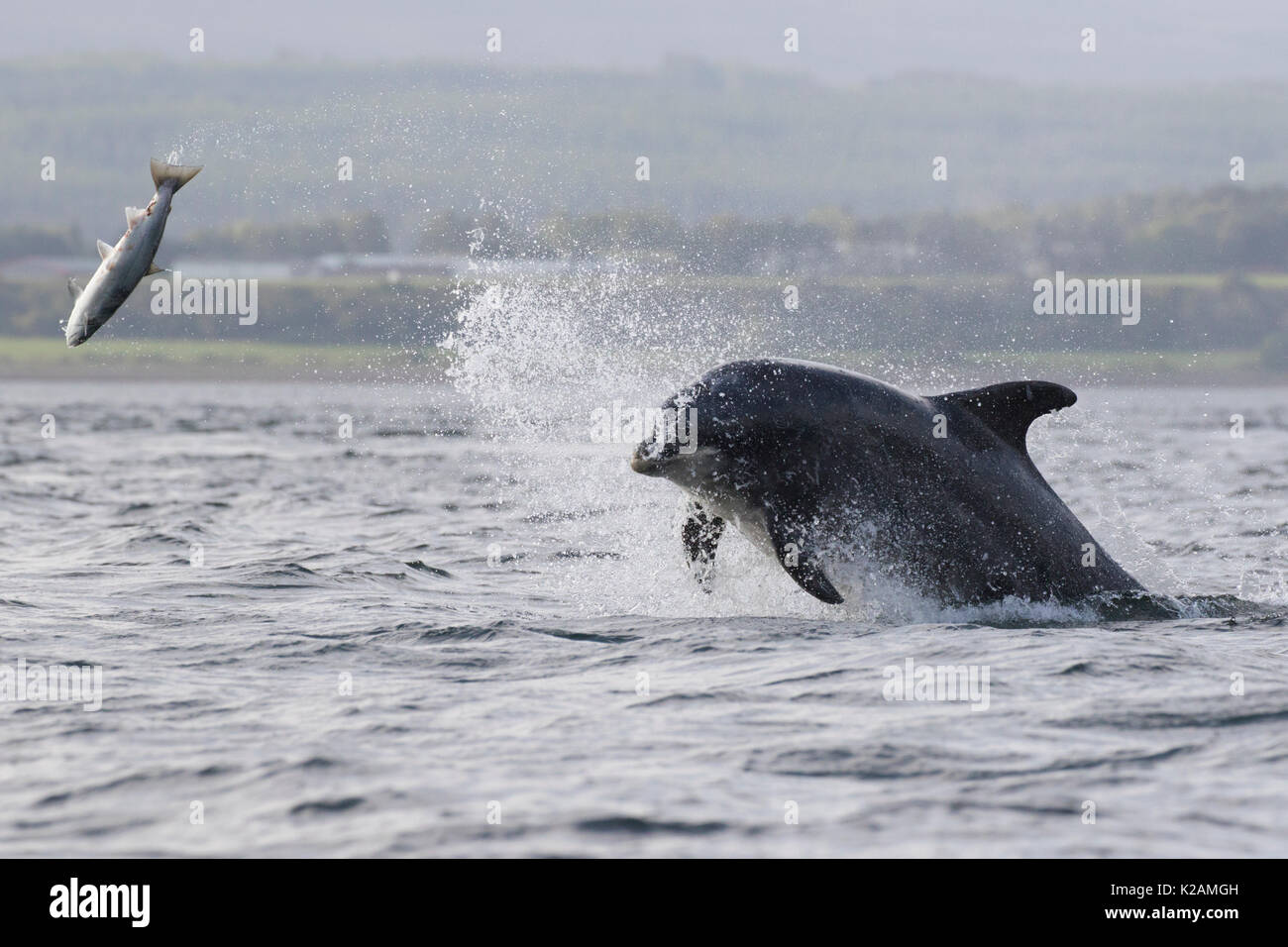 Bottlenose Dolphin (Tursiops truncatus) hunting salmon (Salmo salar) in the Moray Firth, Chanonry Point, Scotland, UK - Stock Image