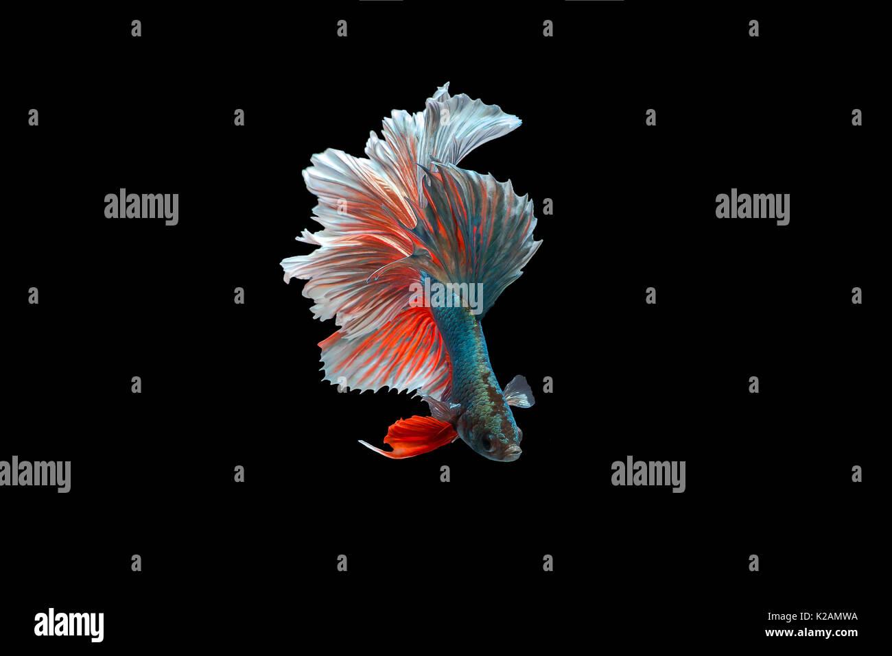 Beta Fighting Fish,Siamese fighting fish - Stock Image