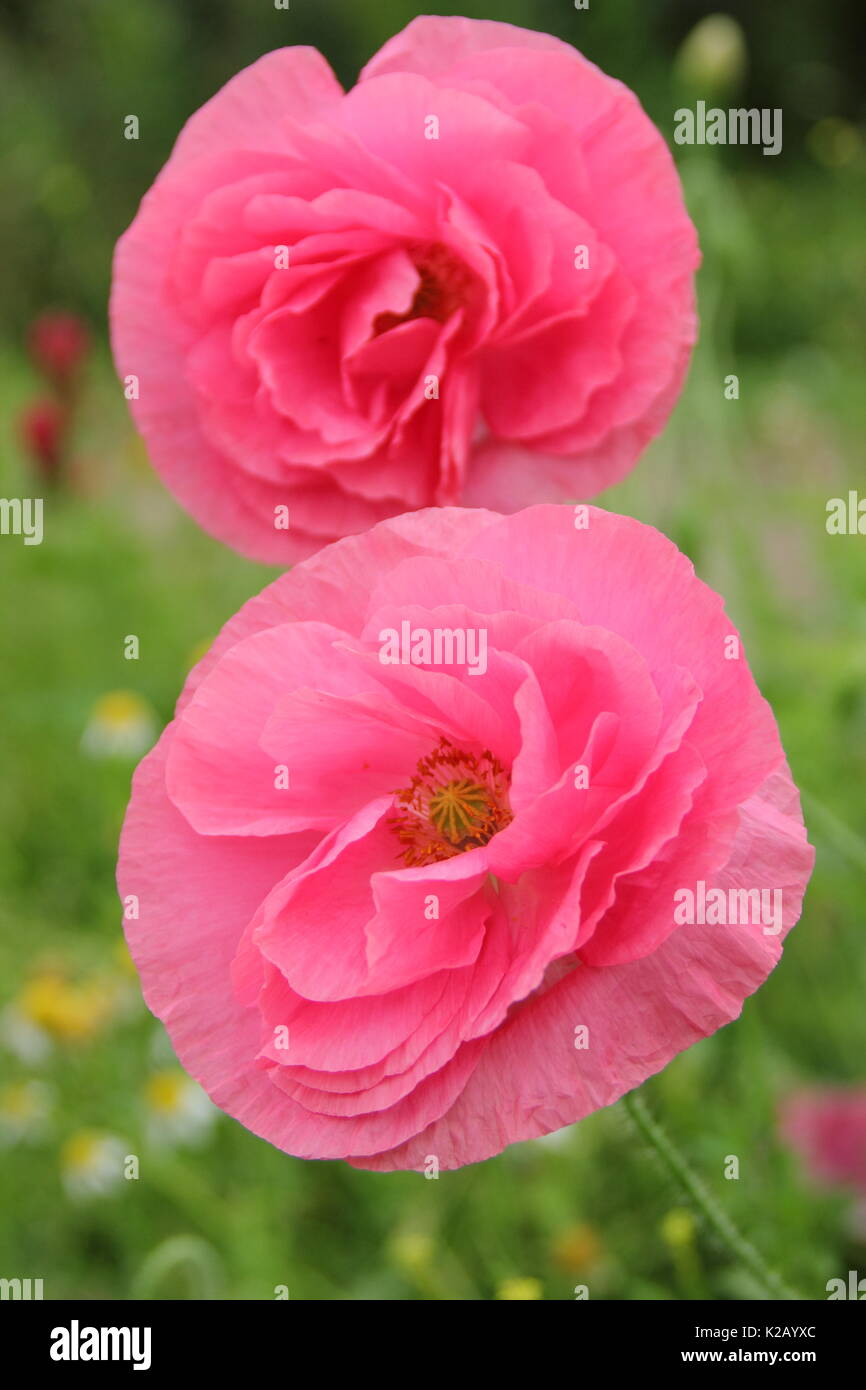 Double Shirley poppies (Papaver rhoeas), a hardy annual with pastel colours and silken petals, flowering in an English pictorial meadow at mid summer Stock Photo