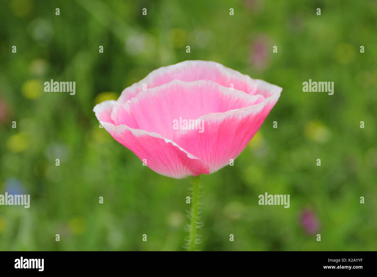 True Shirley poppy (Papaver rhoeas), displaying silken petals, pastel colours and a white base in an English cultivated wildflower meadow in summer Stock Photo