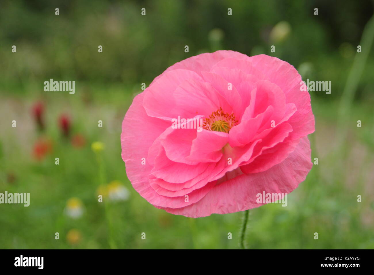 Double Shirley poppy (Papaver rhoeas), a hardy annual with pastel colours and silken, flowering in an English pictorial meadow at mid summer Stock Photo