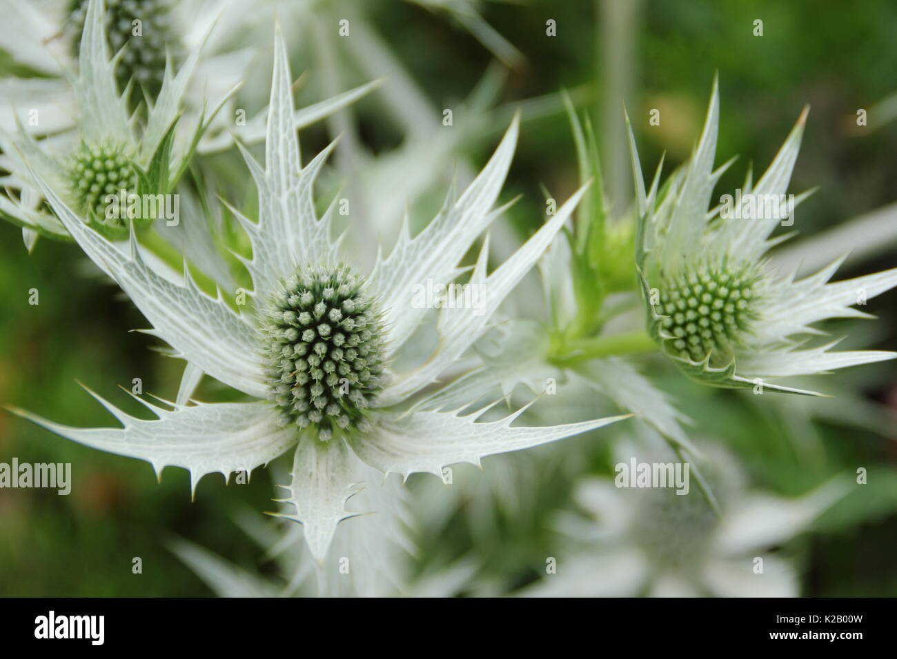 Tall Spikey Flowers Stock Photos Tall Spikey Flowers Stock Images