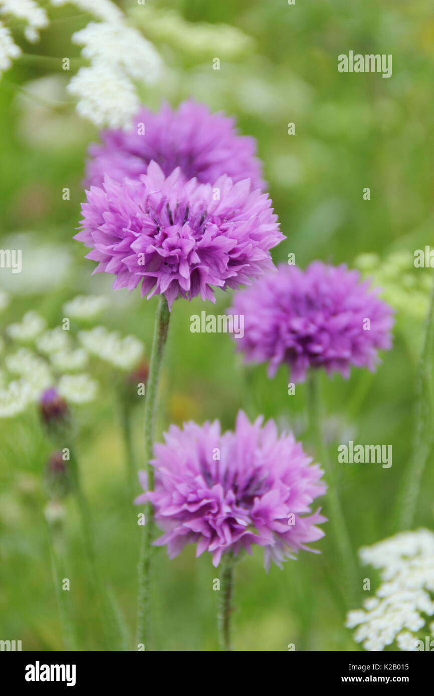 Purple cornflowers (Centaurea cyanus) and Bishop's Flower (Ammi majus) annual form a pictorial meadow in an English garden in mid summer,UK - Stock Image