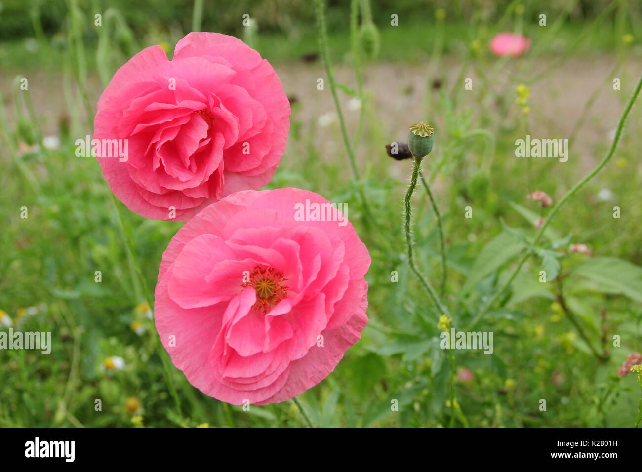 Double Shirley poppy (Papaver rhoeas), a hardy annual with pastel colours and silken petals, flowering in an English pictorial meadow at mid summer Stock Photo