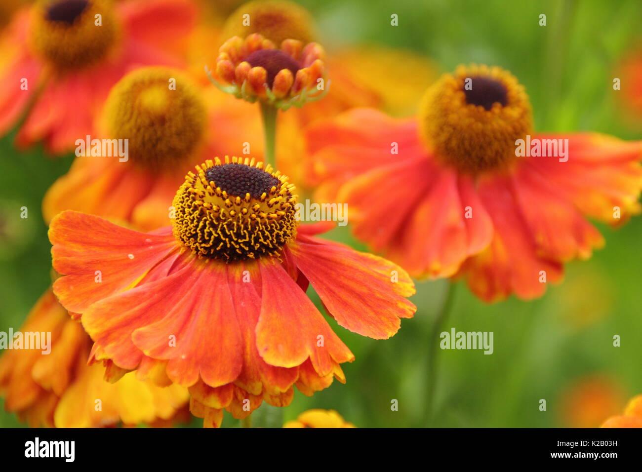 The Bronze And Orange Daisy Like Flowers Of Helenium Waltraut Or