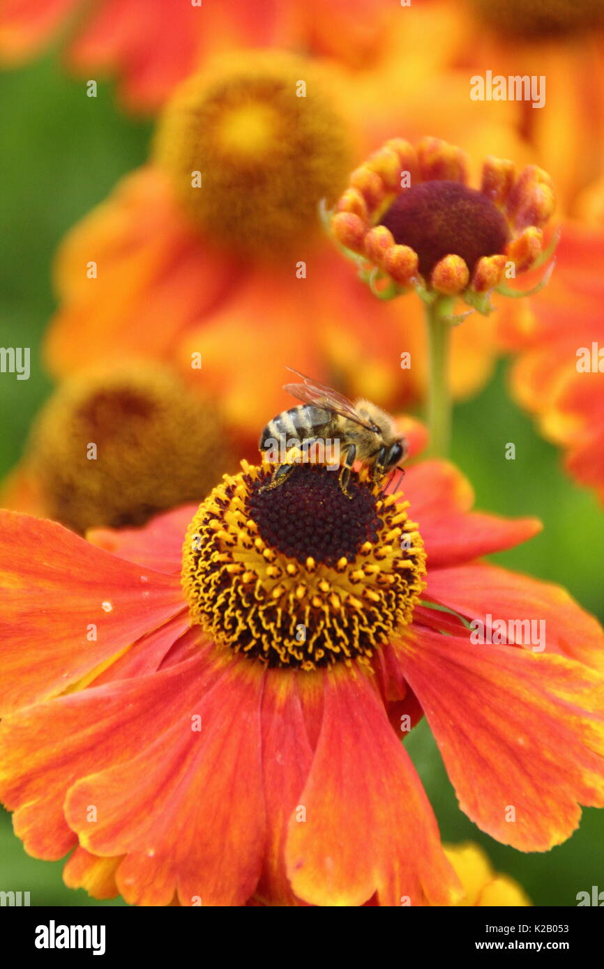 European Honey Bee (Apies Mellifera), drinking nectar from Helenium 'Waltraut', (Sneezeweed), in the border of an English garden in late summer - Stock Image