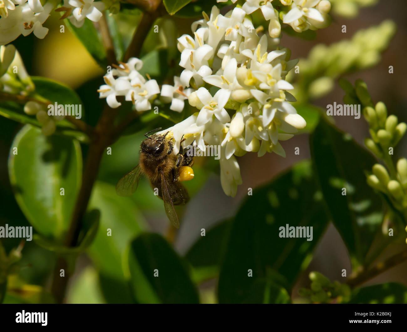 European honey bee, Apis mellifera, feeding on privet flower with full pollen sacs, Carmarthenshire, wales - Stock Image