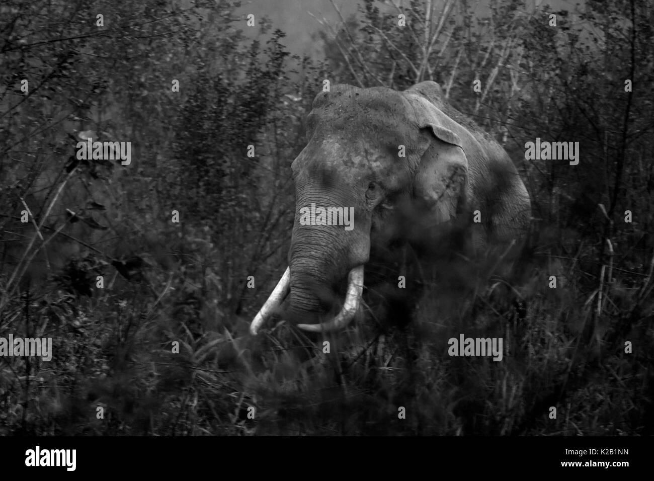 Indian Elephant in the grasslands of Kaziranga National Park, Assam, India. - Stock Image