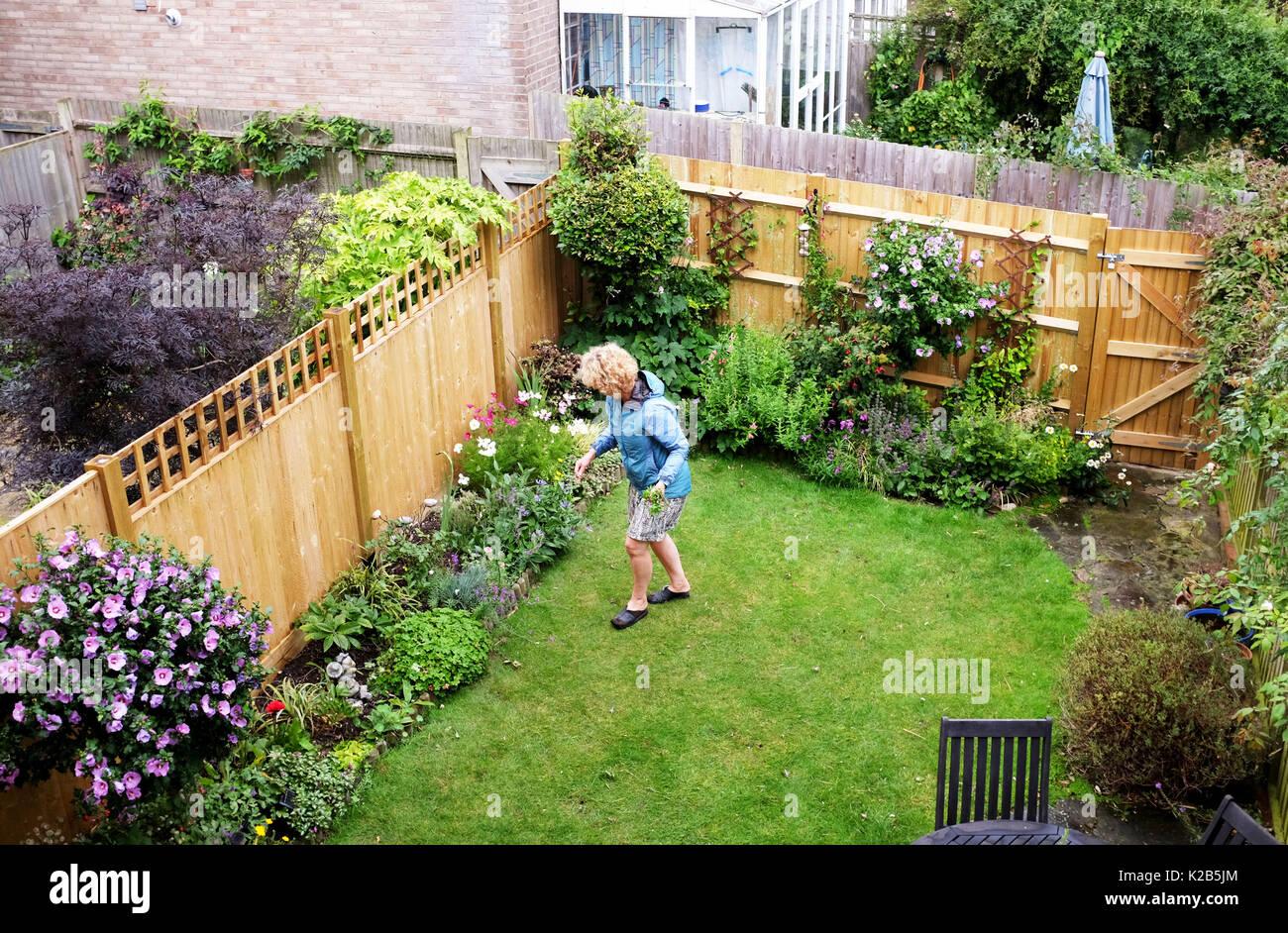 Mature woman gardening in her small urban back garden in summer ...