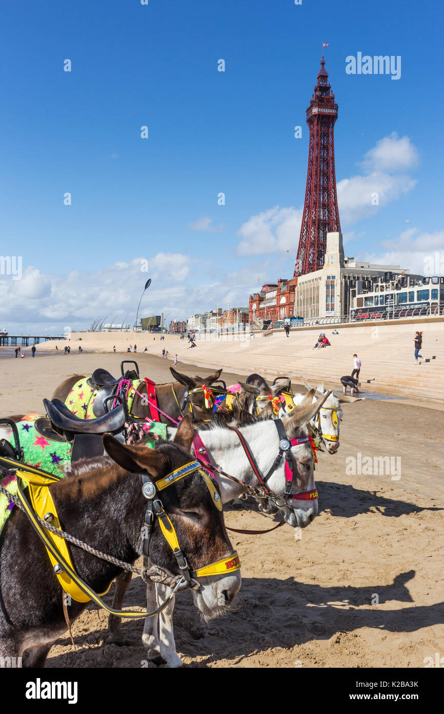 Blackpool, Fylde Coast, Lancashire, England. Donkeys on the beach.  The Blackpool Tower in the background.  Opened on14 May 1894 and inspired by the E - Stock Image