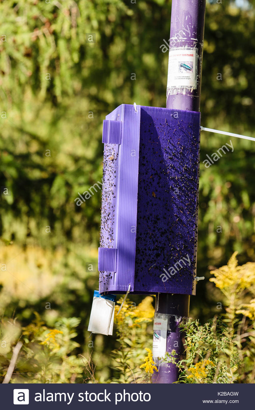 Emerald Ash Borer purple trap,  having already collected a number of insects within the Pike Lake Unit, Kettle Moraine State Forest, Wisconsin - Stock Image