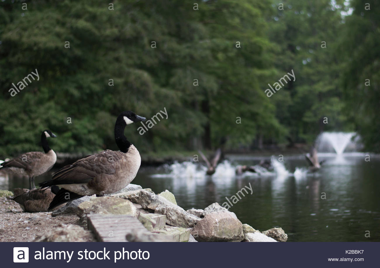 Canadian Geese at the lake - Stock Image