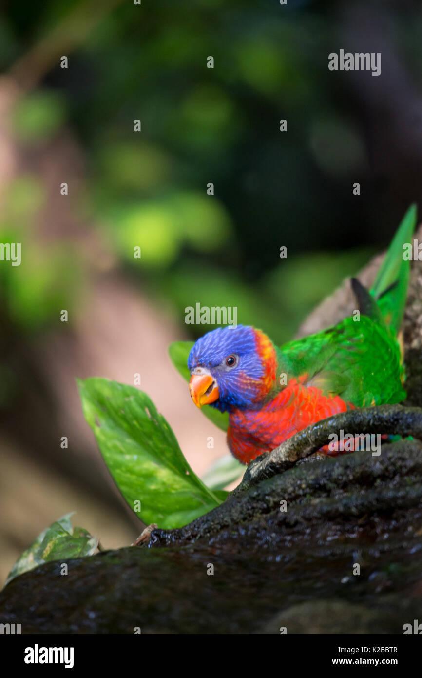 Rainbow Lorikeet Sitting on Tree Trunk in the Jungle, Australia - Stock Image