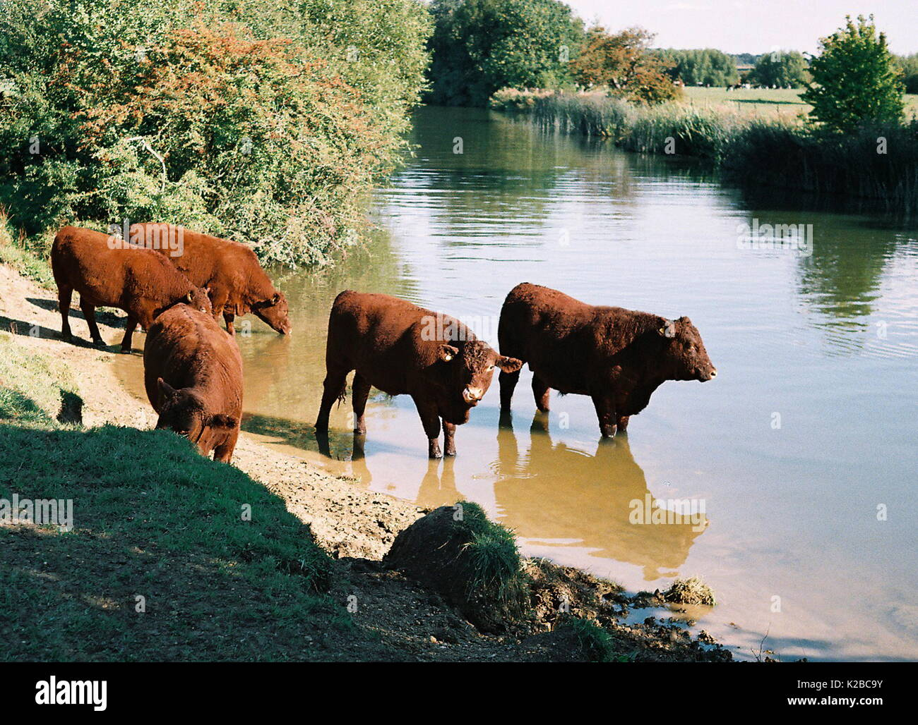 AJAXNETPHOTO. WITNEY,ENGLAND. - LIVESTOCK WATERING HOLE - BULLS ON THE BANKS OF THE RIVER THAMES.  PHOTO:JONATHAN EASTLAND/AJAX REF:TC172617_10 - Stock Image
