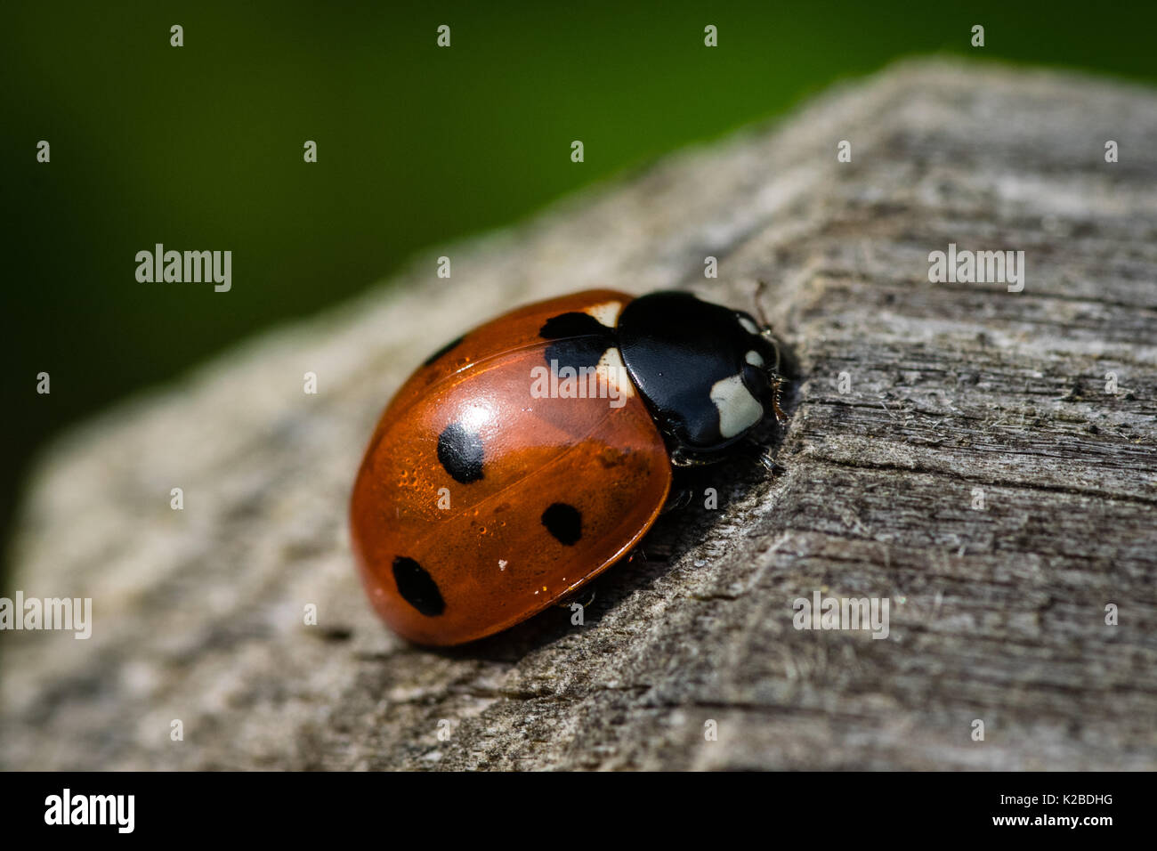 Macro close up of ladybird beetle on wooden post in late summer Stock Photo