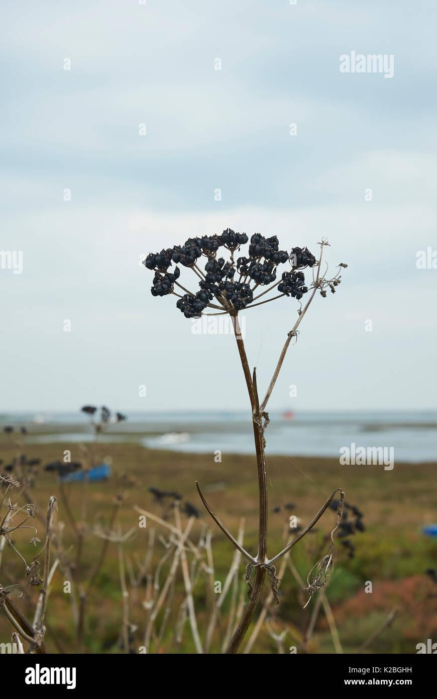 Dead Seedhead on the coastline, UK - Stock Image
