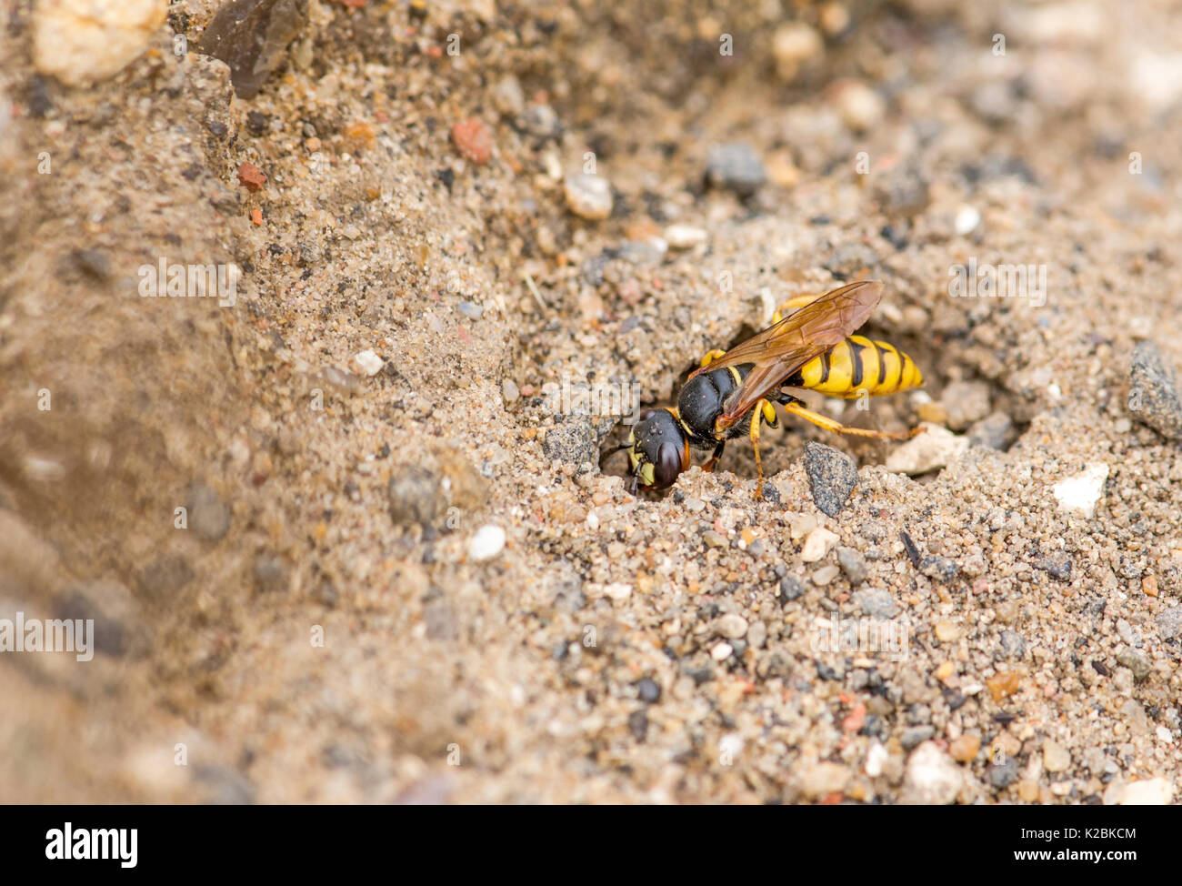 Bee-killer wasp (Philanthus triangulum) excavating a hole. The species is also known as bee-wolf and is a type of digger wasp. - Stock Image