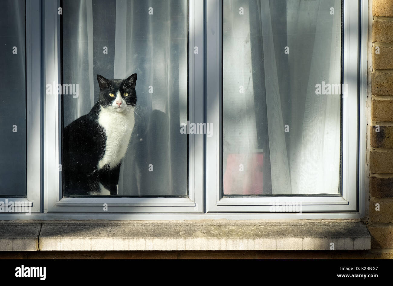 Curious black and white cat sitting on window and looking at city street Stock Photo