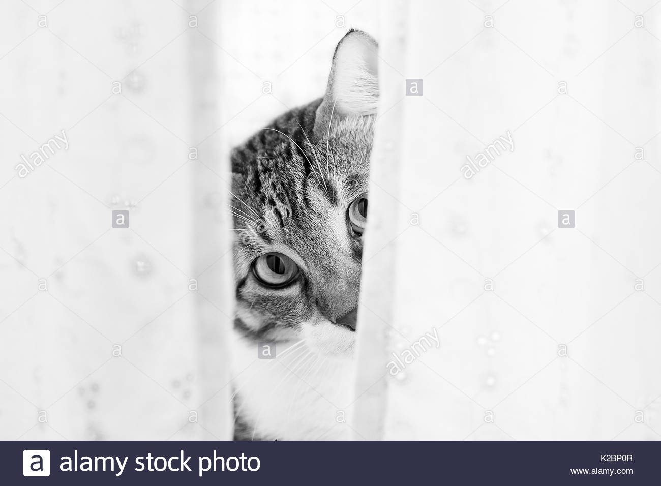 Cat looks out from behind a shower curtain - Stock Image