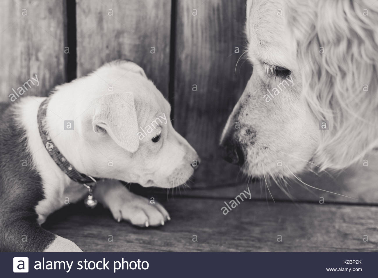 puppy faces to face with a larger mature dog - Stock Image