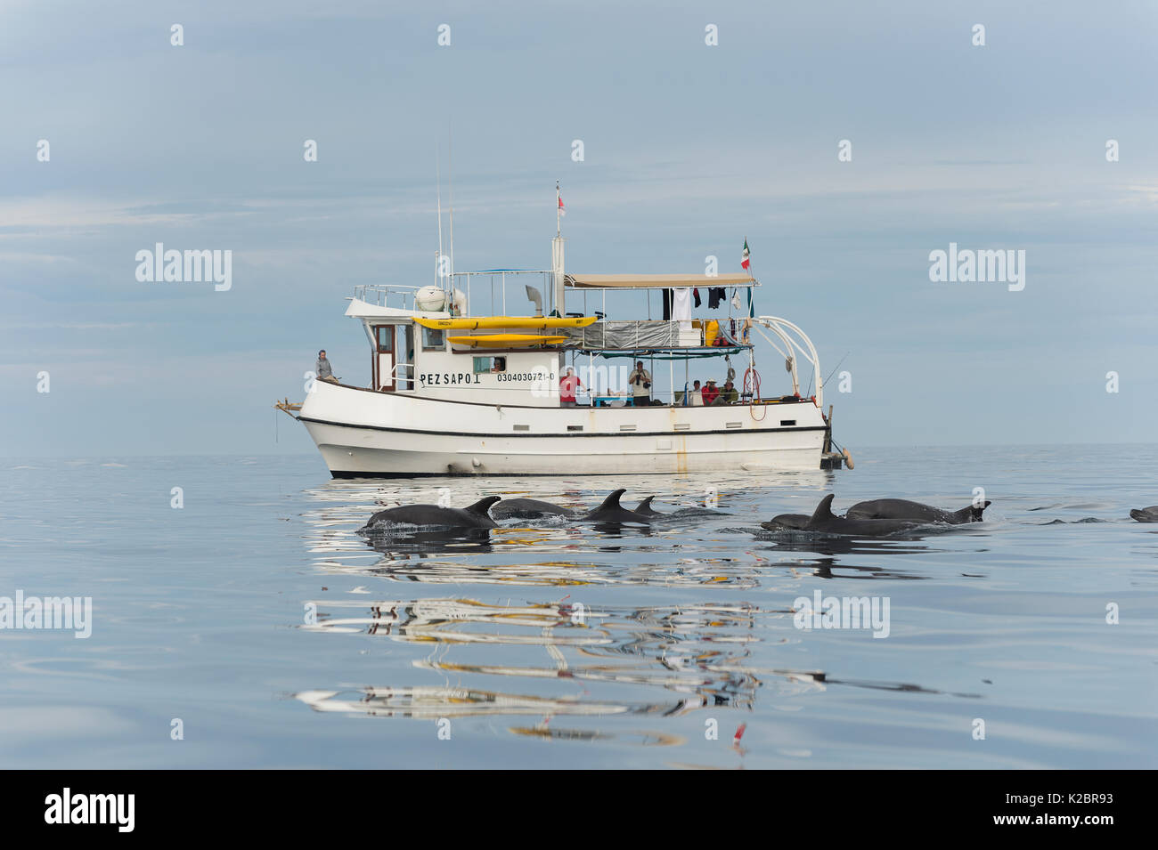 Bottlenose dolphins (Tursiops truncatus) traveling alongside the Baja Expeditions boat, Gulf of California, Mexico. All non-editorial uses must be cleared individually. - Stock Image