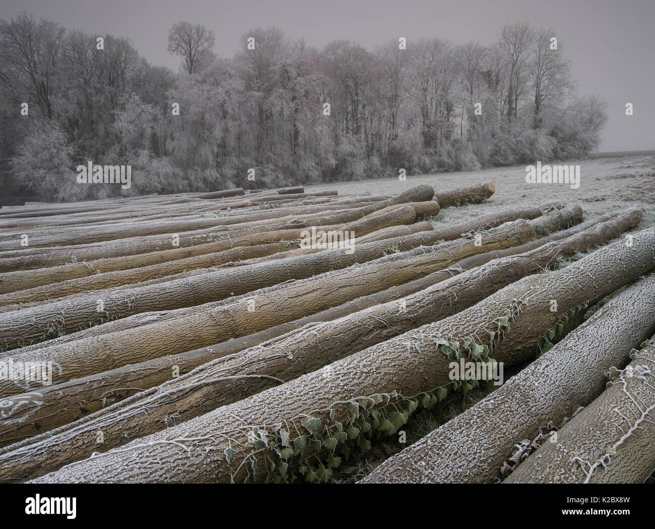 Timber on ground covered in frost in winter, Picardy, France, January. - Stock Image