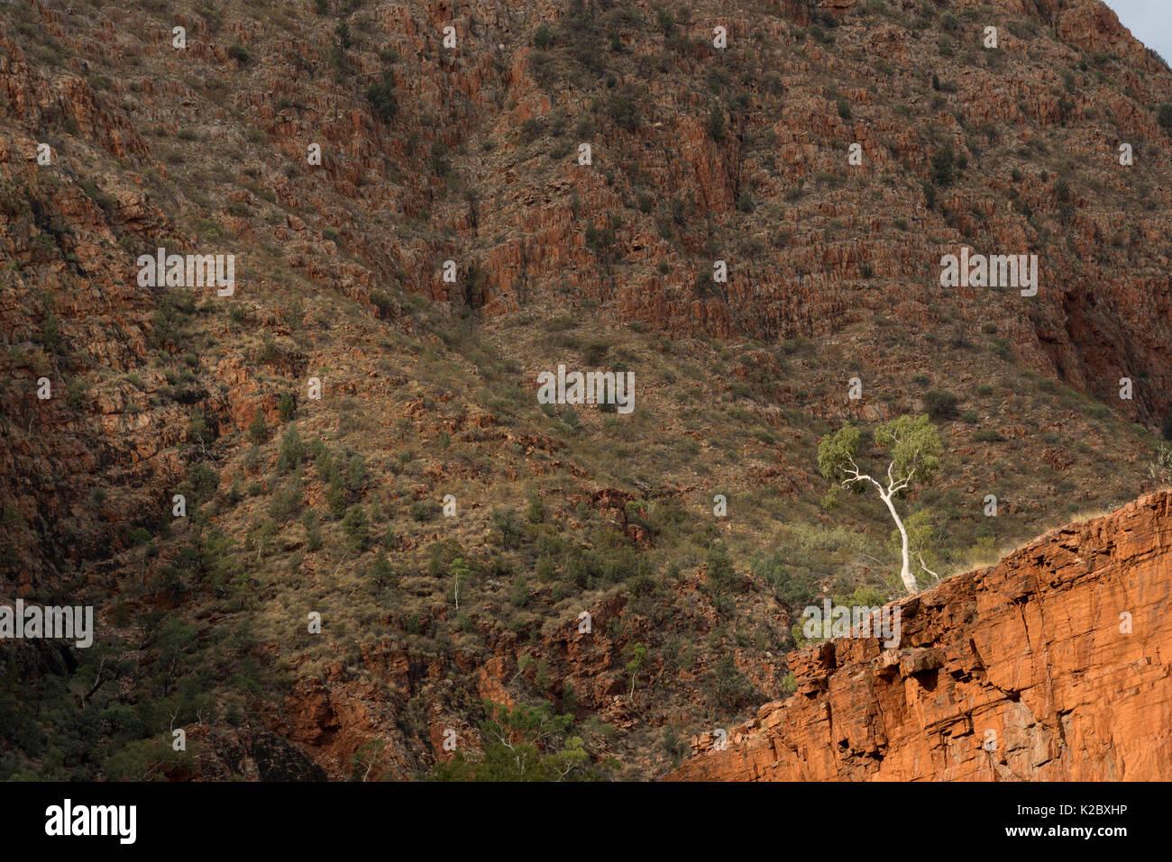 River red gum tree (Eucalyptus camaldulensis)  Redbank Gorge, West MacDonnell Ranges, Alice Springs, Northern Territory, Australia. - Stock Image