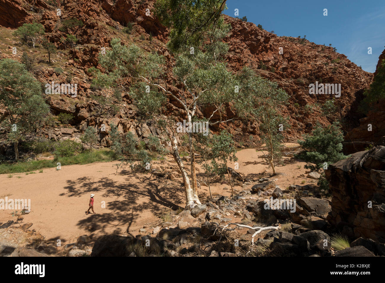 River red gum tree (Eucalyptus camaldulensis)  Redbank Gorge, West MacDonnell Ranges, Alice Springs, Northern Territory, Australia. - Stock Image