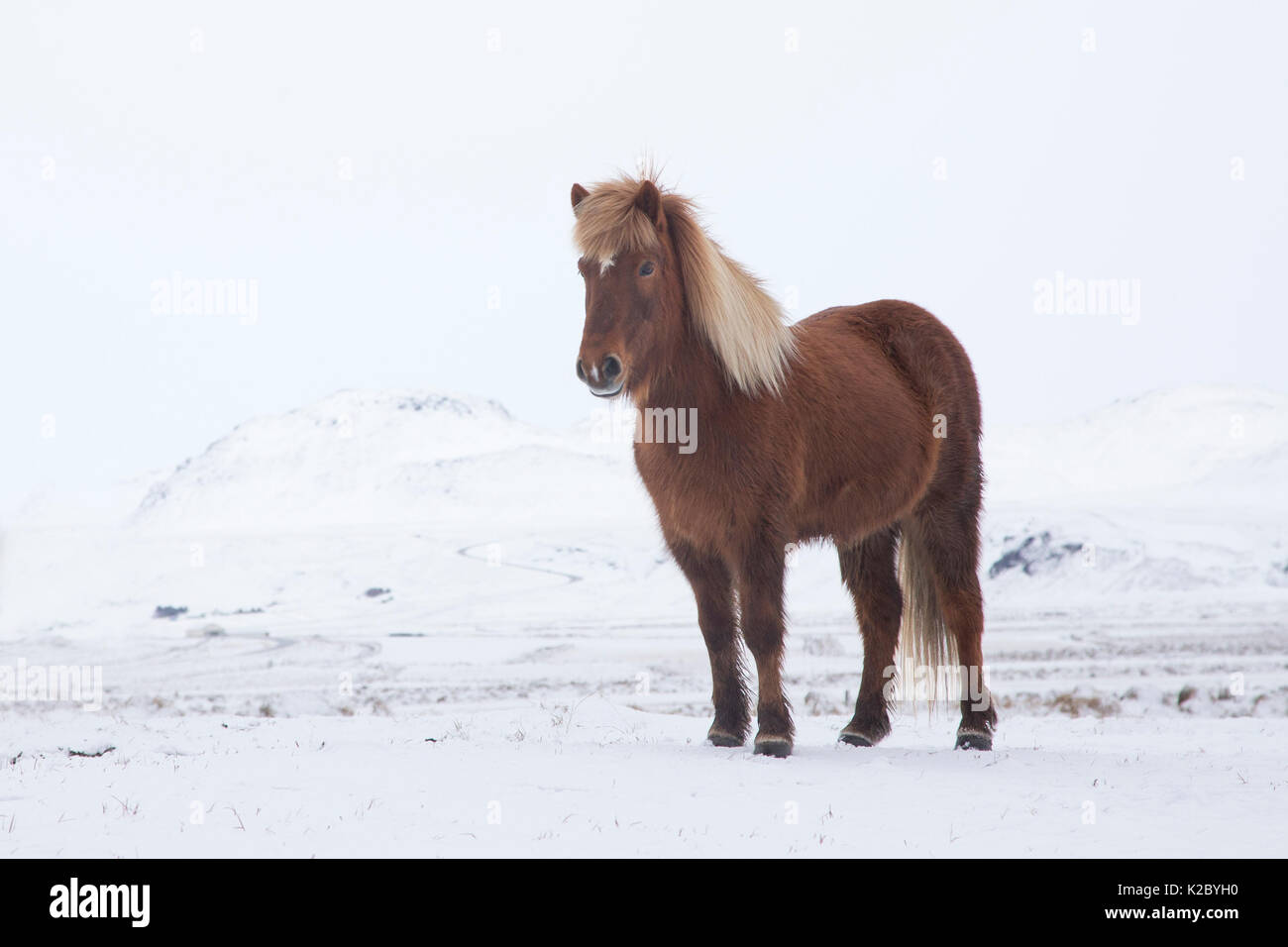 Icelandic horse in winter, Iceland. March. - Stock Image