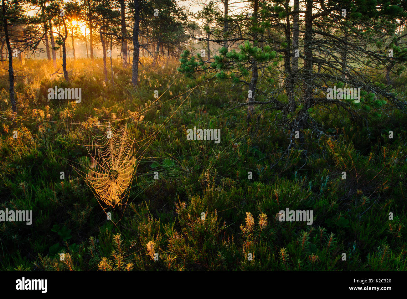 Dew covered spiderwebs in Scots pine (Pinus sylvestris) forest bog at sunrise, Tartumaa, Estonia, July. Stock Photo