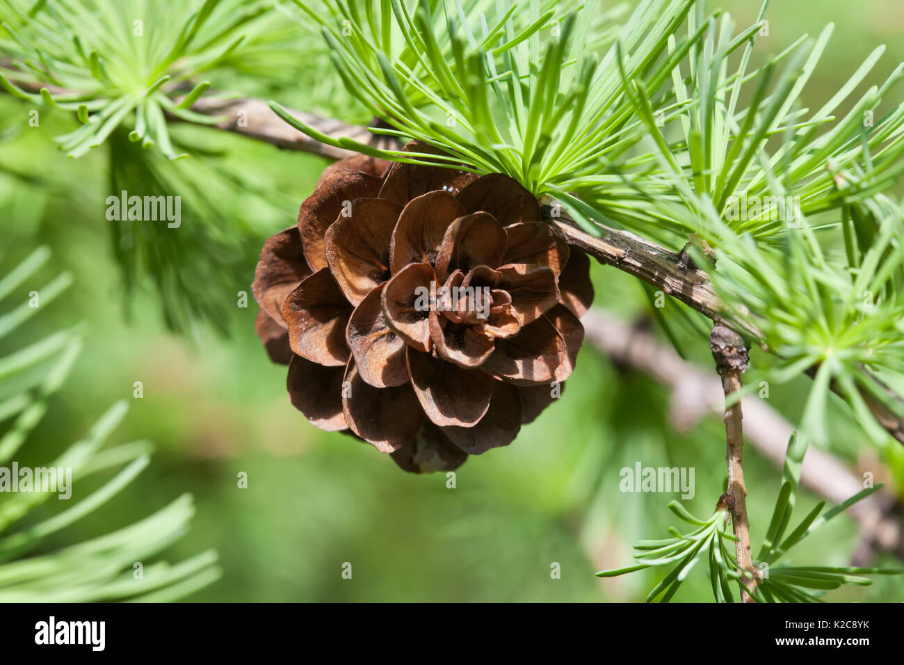 Conifer cone, fir tree branch macro view. Forest nature landscape, sunny day weather. soft focus - Stock Image