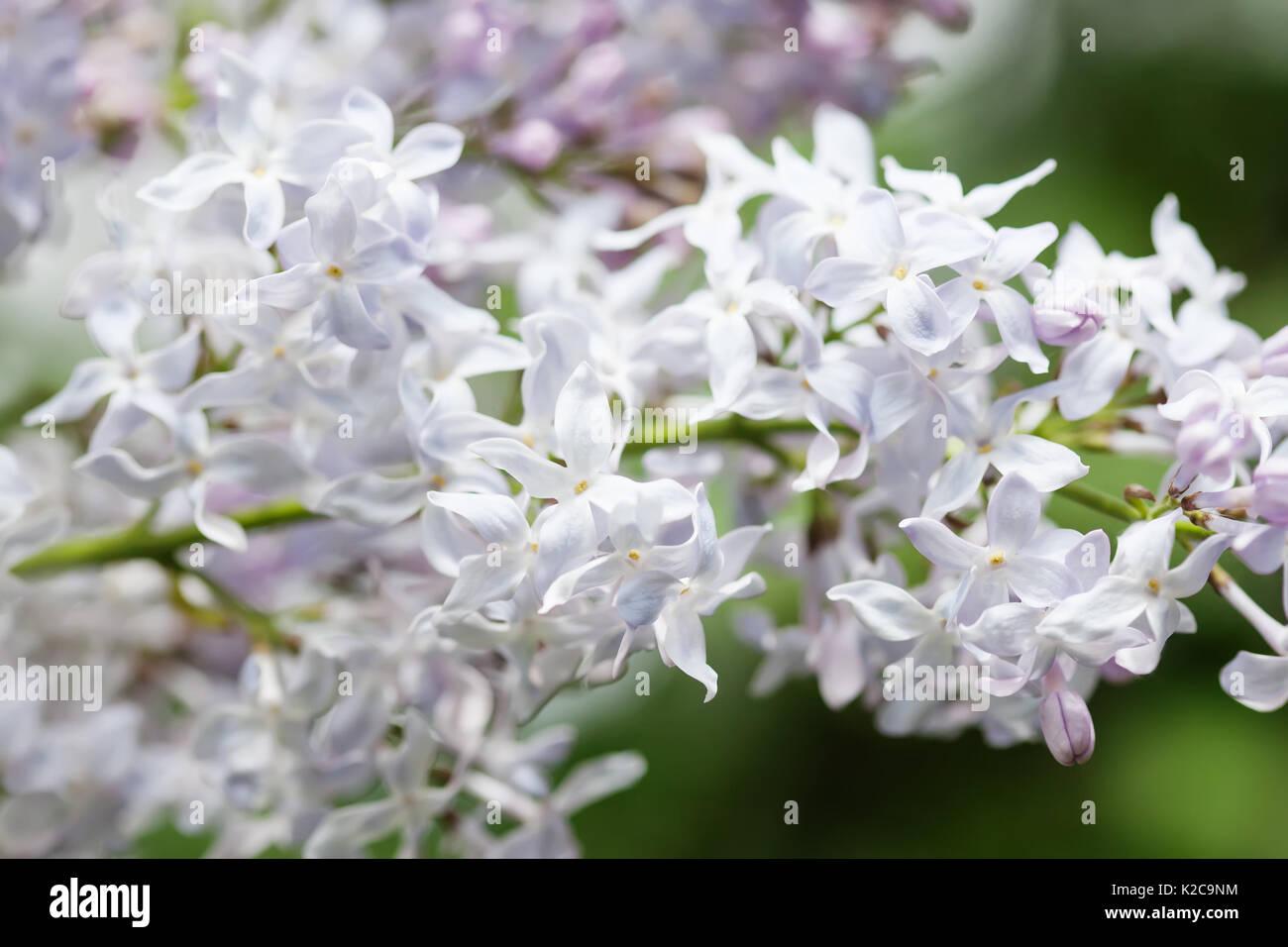 Blooming White Lilac Bush Flower Petals Macro View Soft Focus