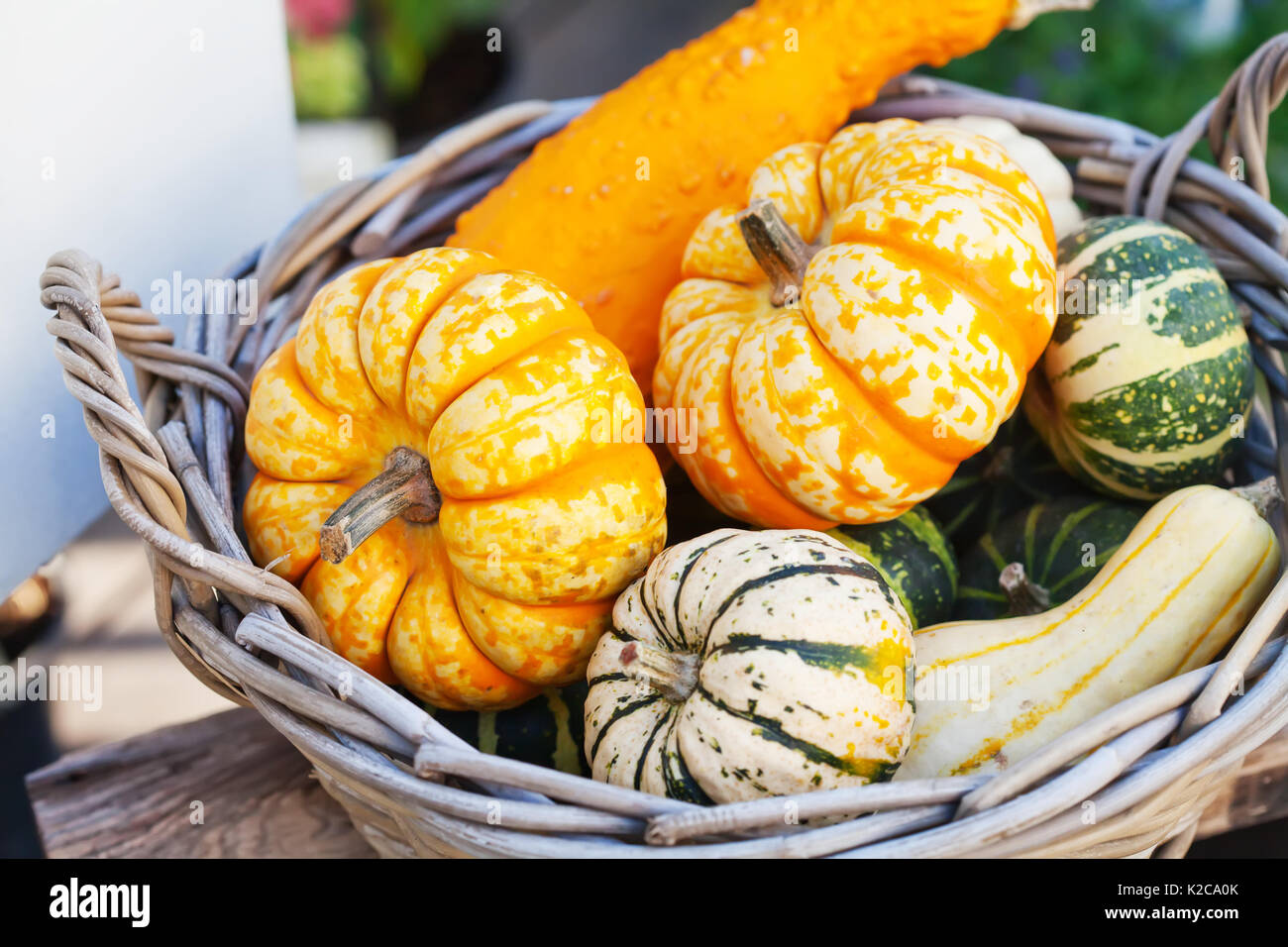 Food basket concept. Colorful halloween pumpkins in a wooden wicker. Autumn farmers harvest, thanksgiving day conceptual - Stock Image