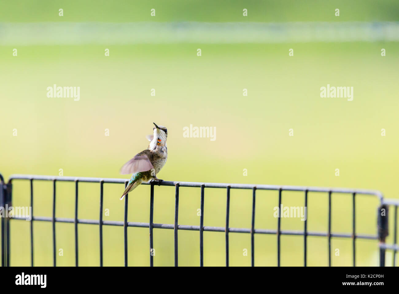 An immature male Ruby-throated hummingbird, Archilochus colubris, perched on a fence. Stock Photo