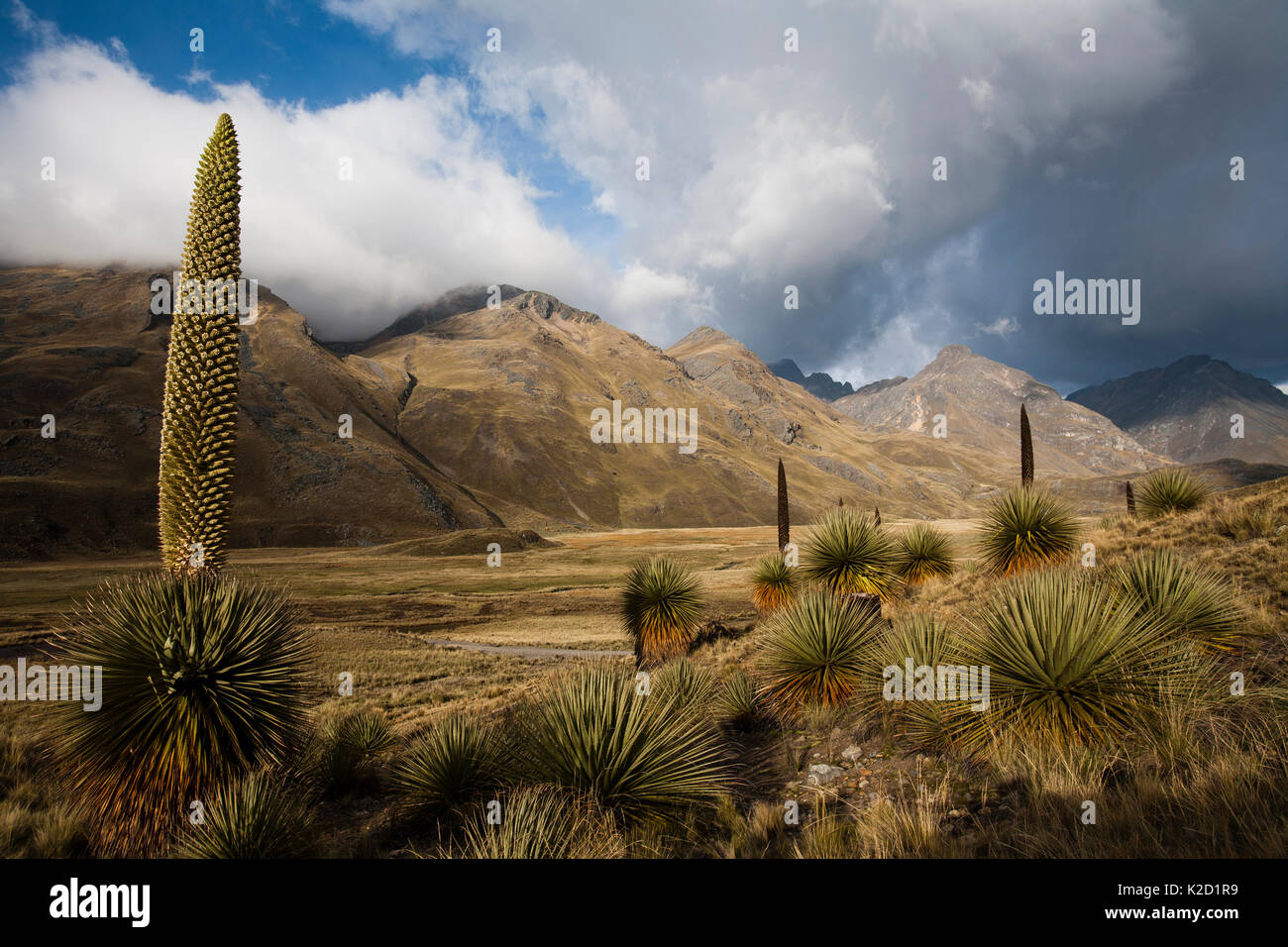 Queen of the Andes (Puya raymondii) plants in steppe, Cordillera Blanca Massif, Andes, Peru, November. Stock Photo