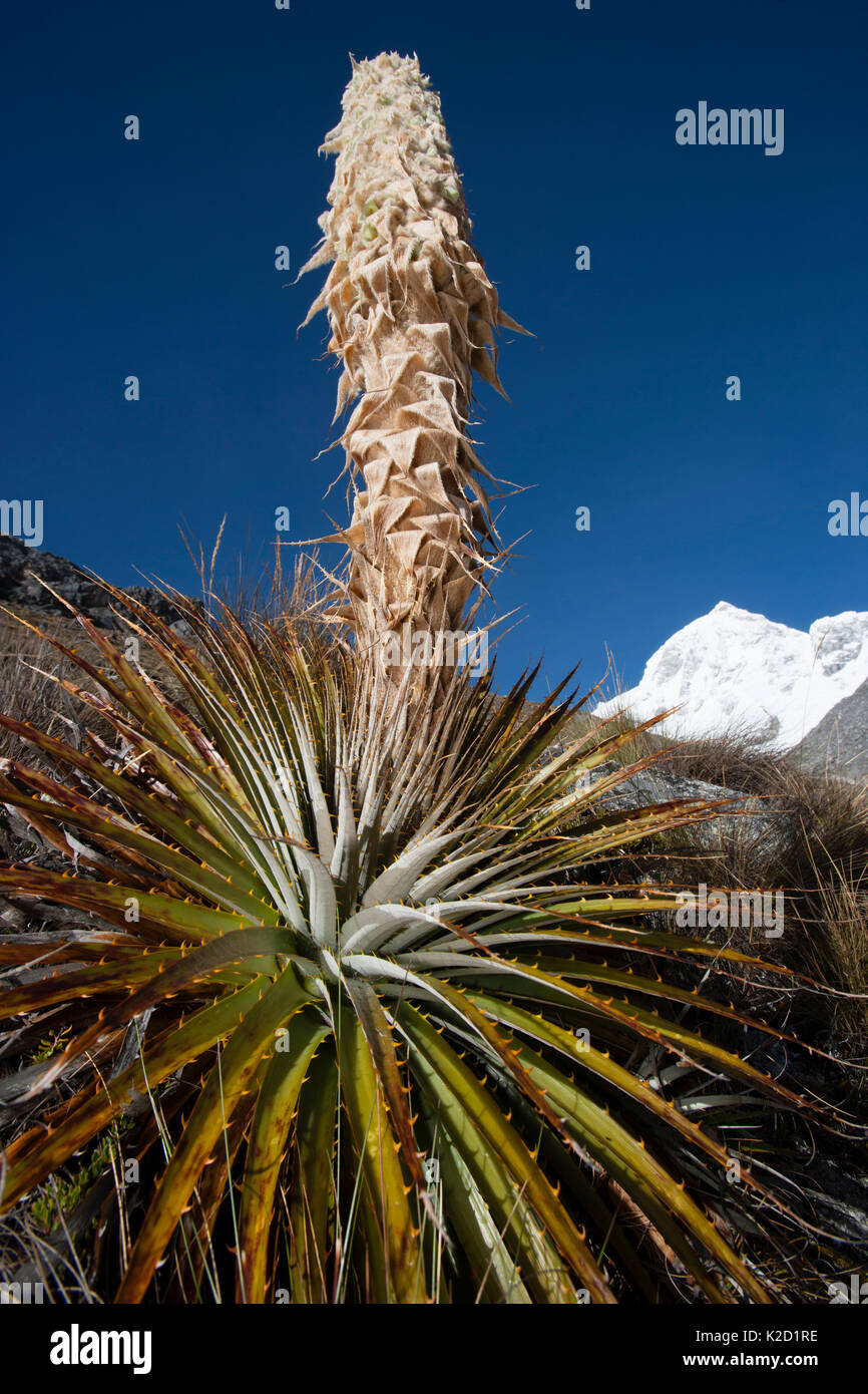 Puya (Puya sp) plant blooming, Cordillera Blanca Massif, Andes, Peru, November Stock Photo
