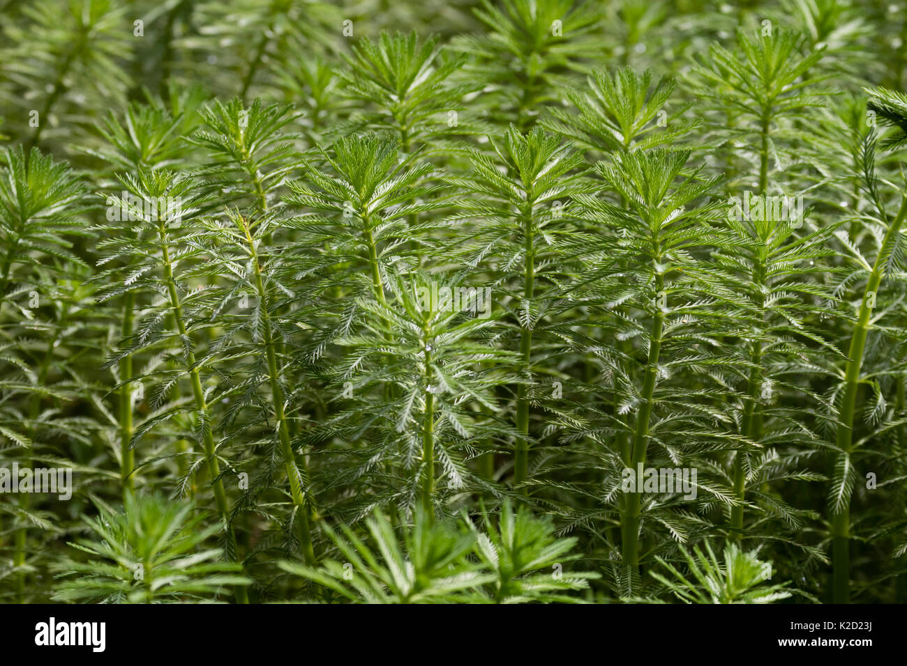 Emergent stems of the invasive aquatic weed, Myriophyllum aquaticum, Parrot's feather - Stock Image