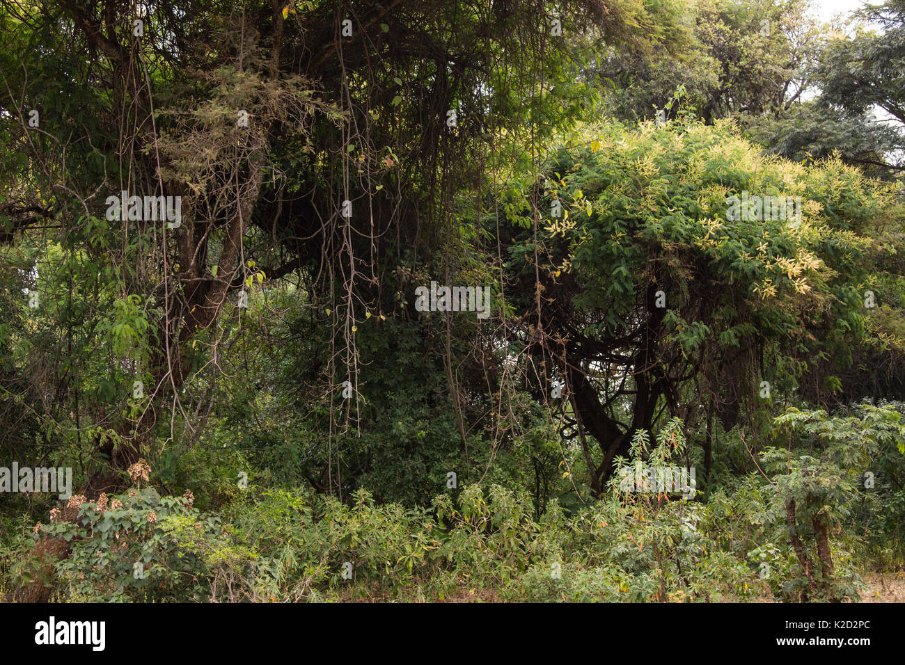 'Church forest', area of ancient forest, preserved by priests of the Ethiopian Orthodox Tewahedo Church, Tara Gedam, Lake Tana Biosphere Reserve, Ethiopia. December 2013. - Stock Image