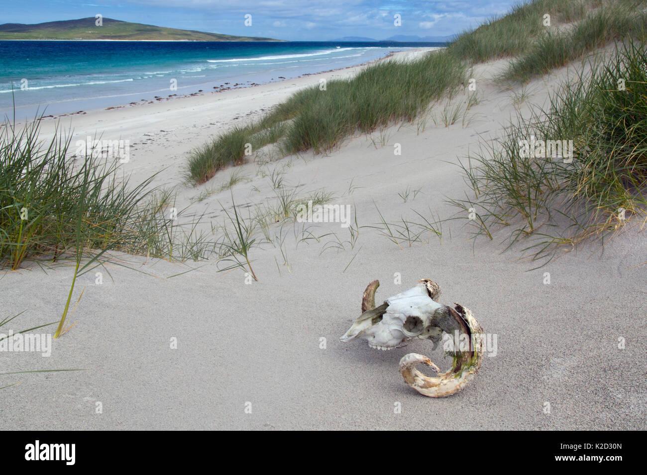 Skull of Hebridean sheep on beach and sea,  Traigh Lar, North Uist, Hebrides, Scotland, UK, June. - Stock Image