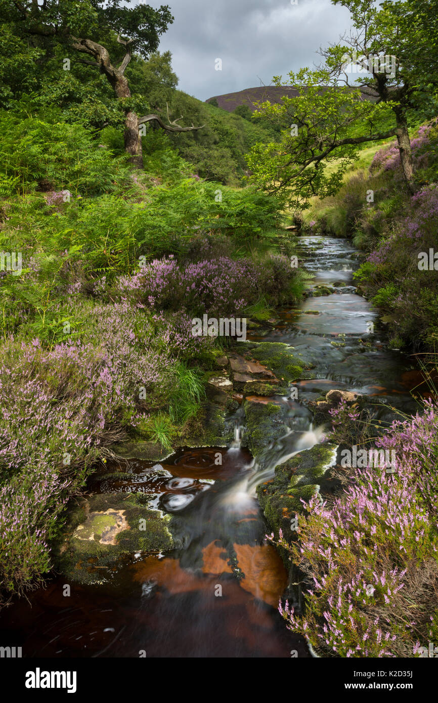 Tannin-stained brook in Stainery Clough, Peak District National Park, Derbyshire, UK. August 2015. Stock Photo