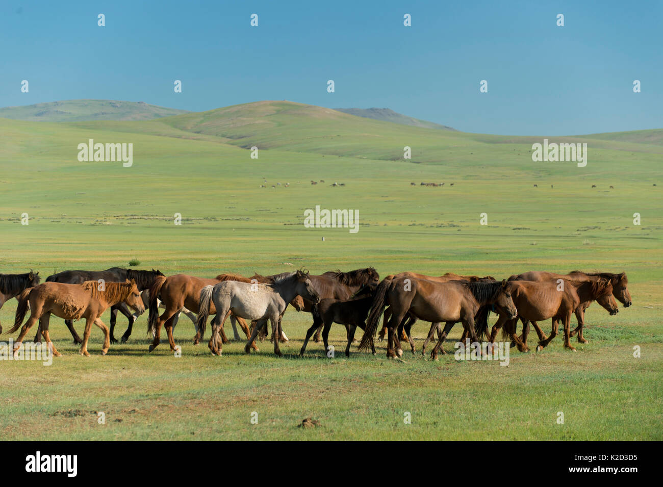 Domestic horses in Gobi desert, Umnugovi province, South Mongolia. - Stock Image
