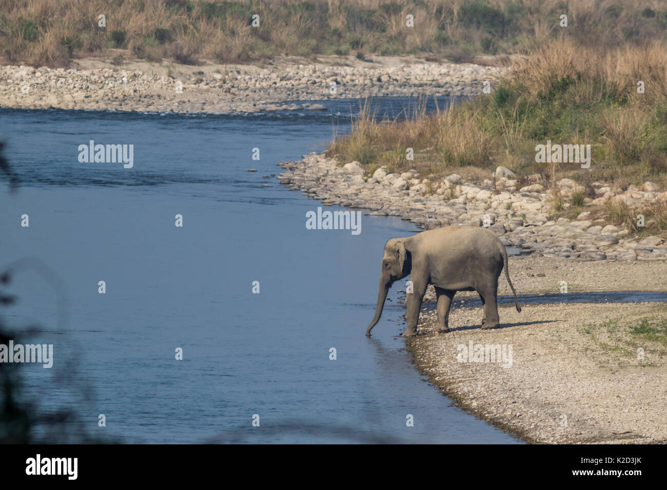 The Indian elephant (Elephas maximus indicus) drinking water in the Ramganga river in Corbett Tiger Reserve in Uttarakhand, India. - Stock Image