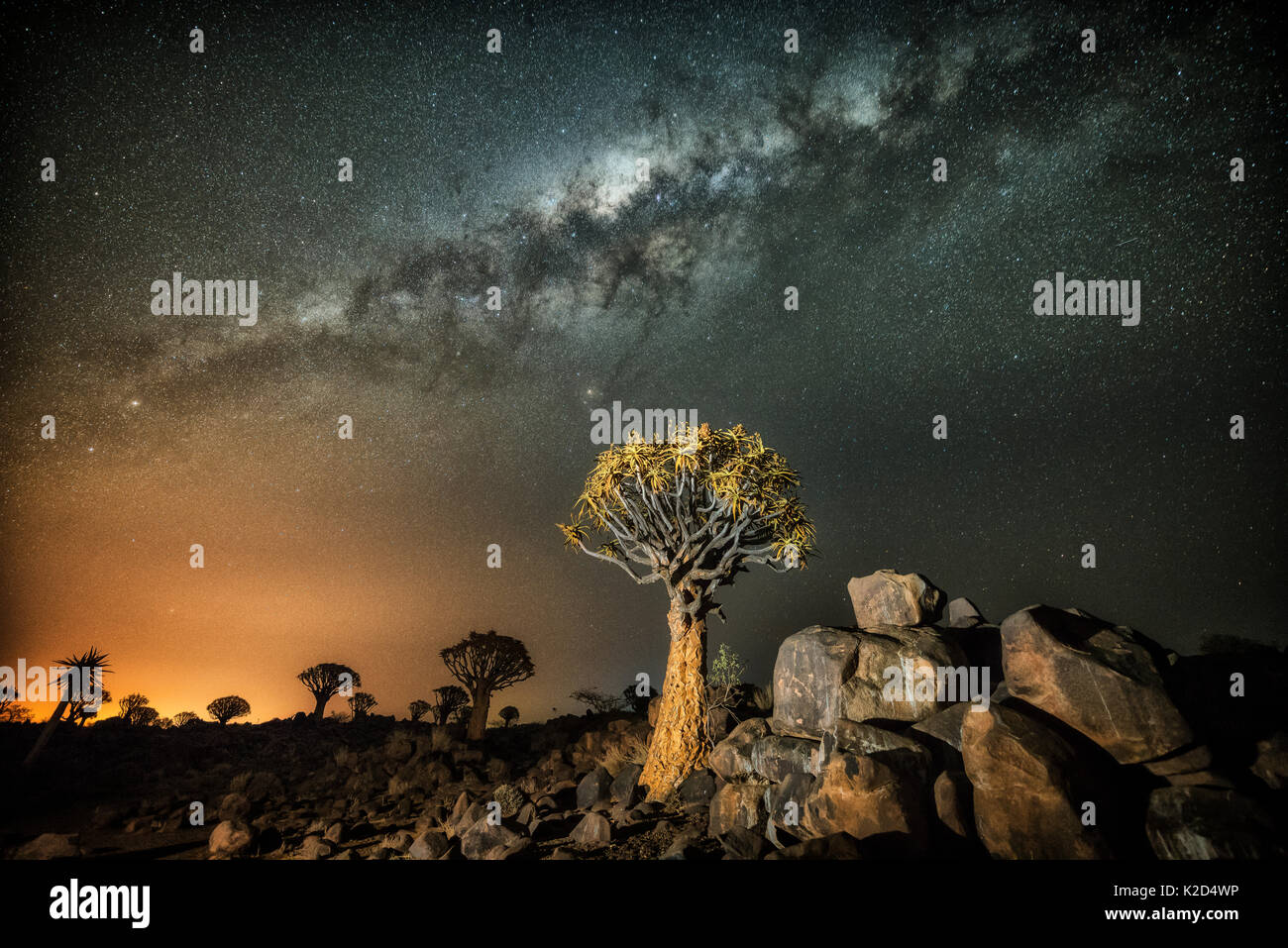 Quiver tree (Aloe dichotoma) with the Milky Way at night, and light pollution from town in the distance, Keetmanshoop, Namibia. Colours accentuated digitally. Stock Photo