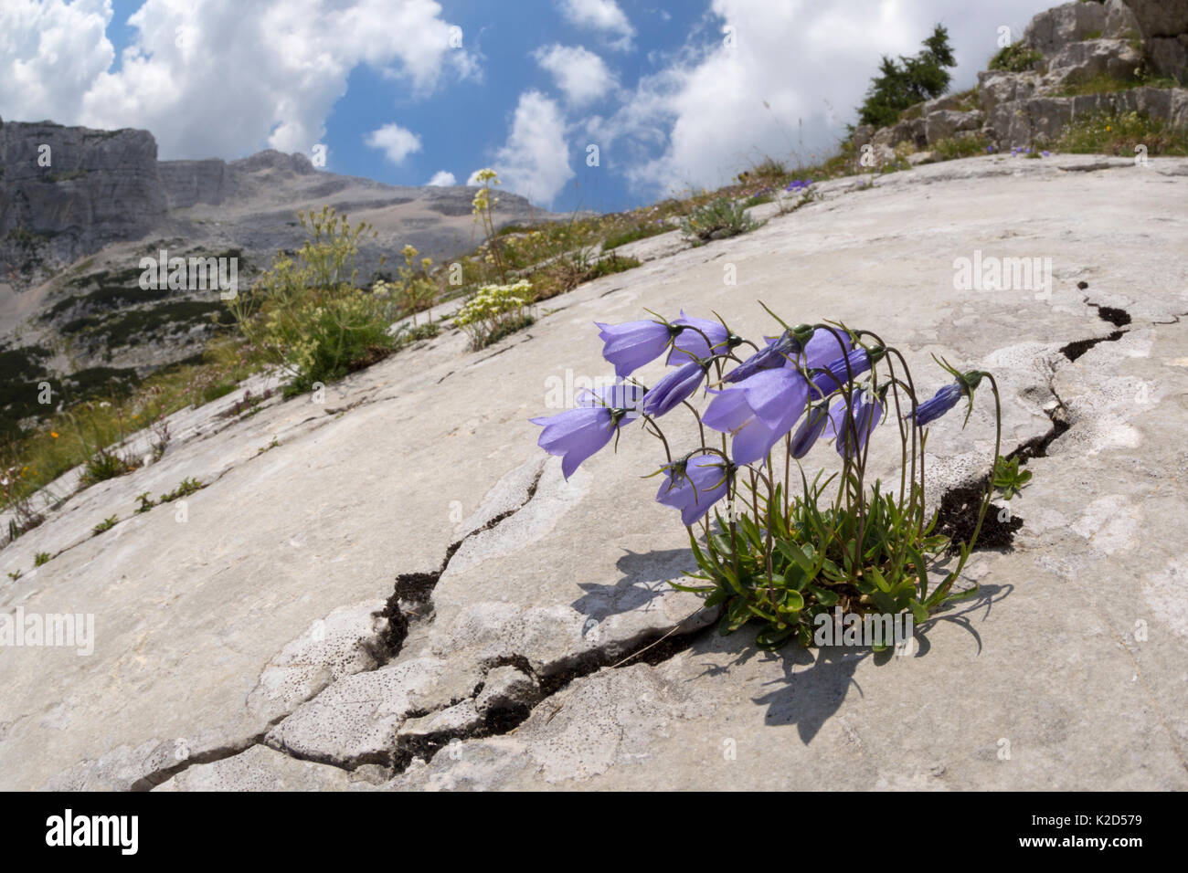 Fairy's thimble flower (Campanula cochleariifolia) growing in a crack running through a limestone slab. Triglav National Park, Julian Alps, Slovenia. July. - Stock Image