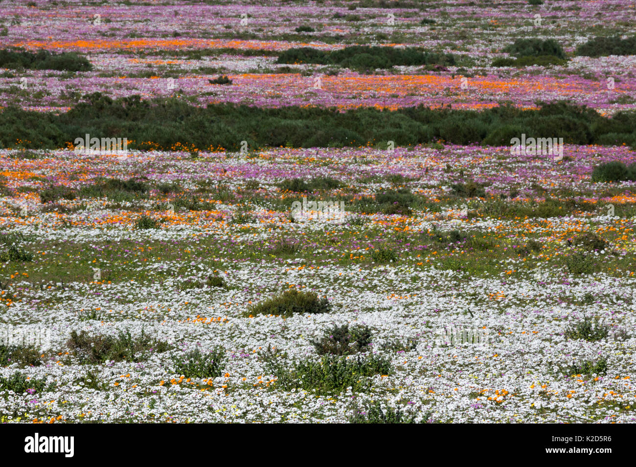 Spring wild flowers, Postberg section, West Coast National Park, Western Cape, South Africa, September 2015 Stock Photo