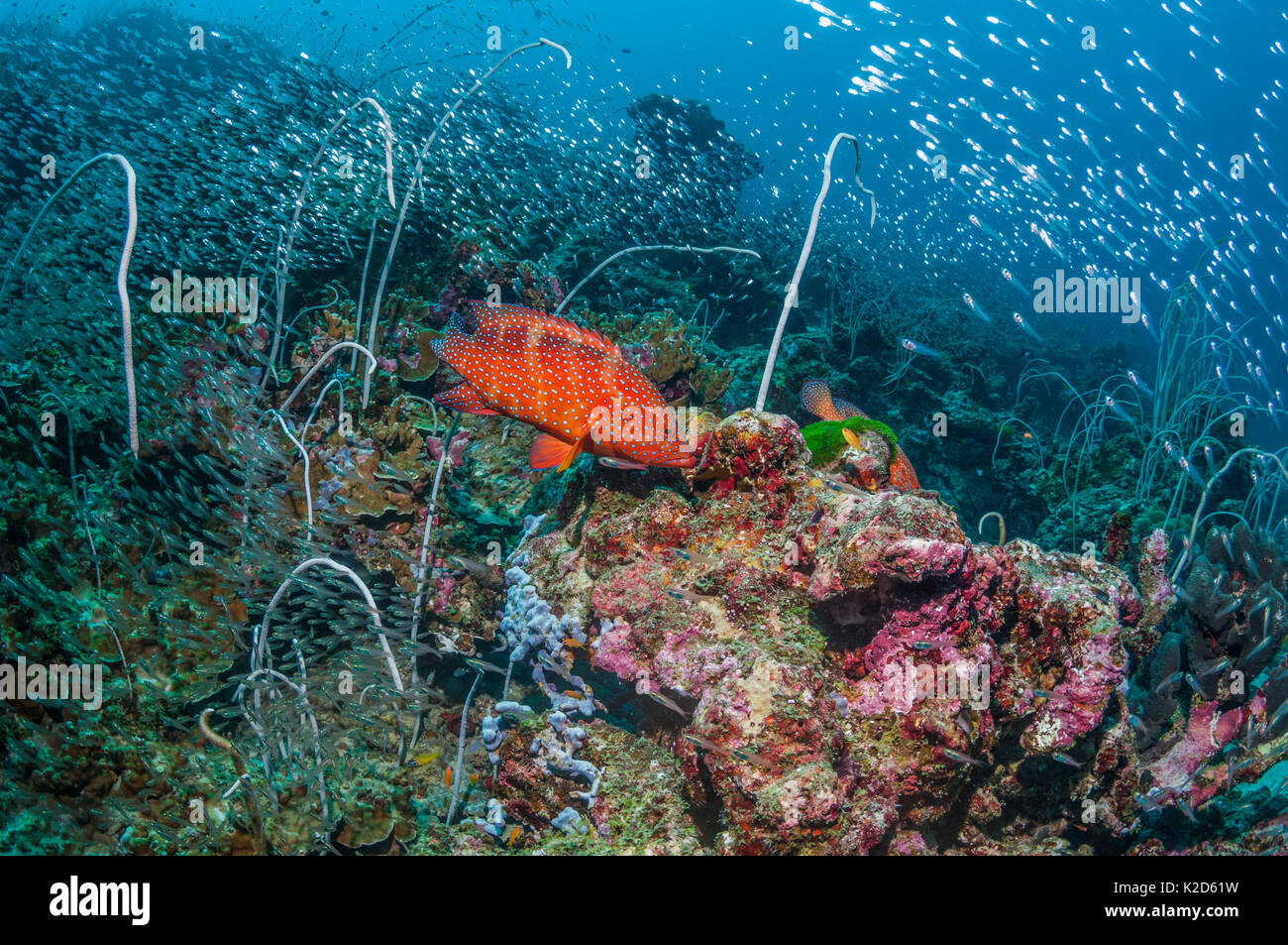 Coral reef with a Coral hind (Cephalophus miniata), Delicate sea whips (Jungceellia fragilis) and a large number of Pygmy sweepers (Parapriacanthus ransonetti) Similan Islands, Andaman Sea, Thailand. - Stock Image